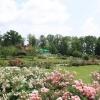 Viele Rosenbüsche kurz vor dem Verblühen